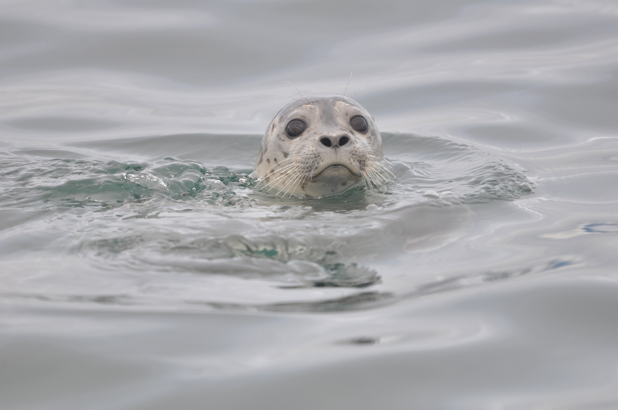 harbor-seal-946563 (2).jpg
