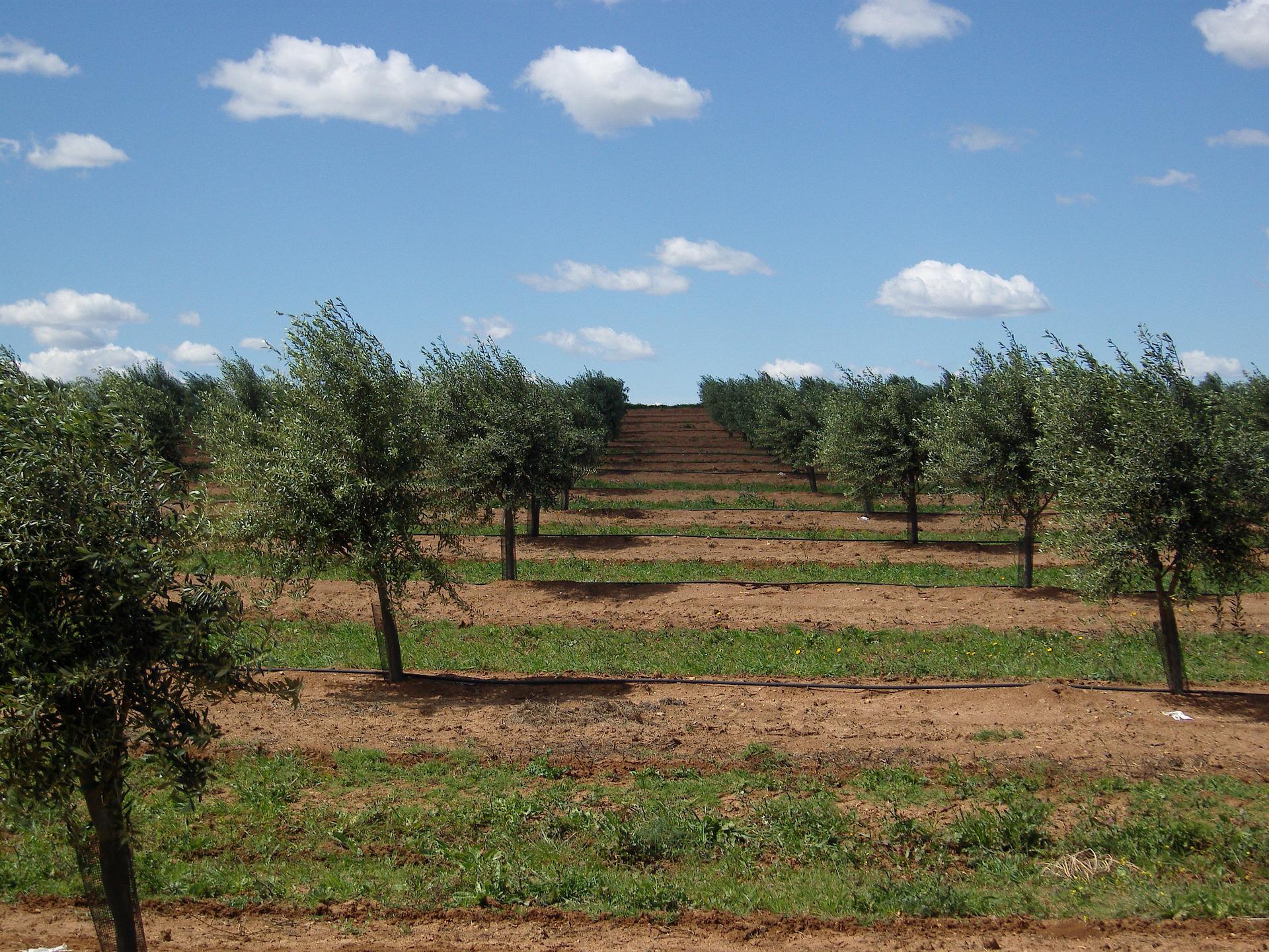 olive-trees-1234561_1920 (2).jpg