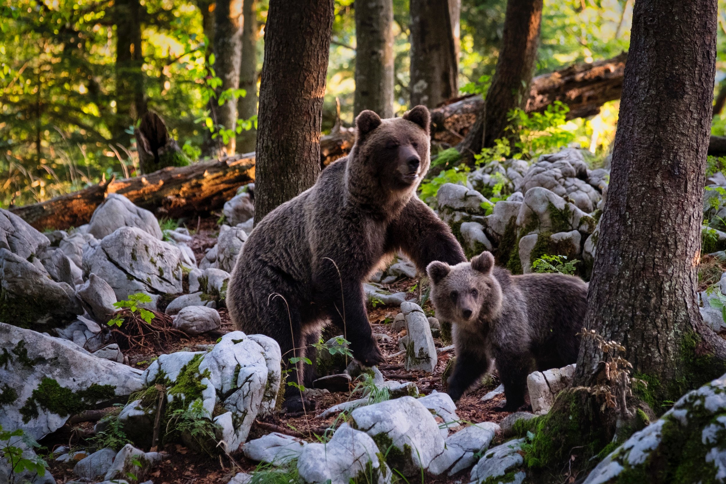 mother bear rising