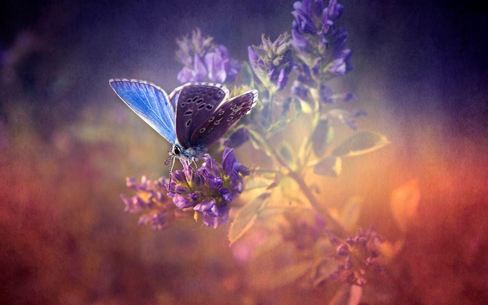 Sommerfugl i sommerlys.jpg