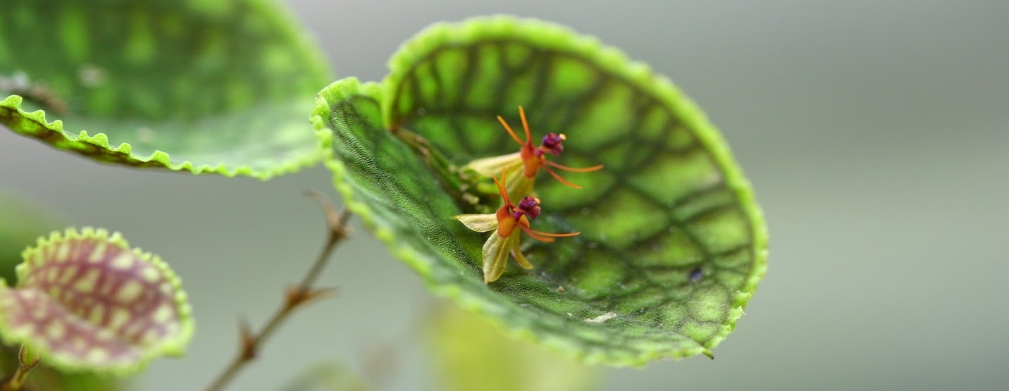 Lepanthes tentaculata  - popular for both  foliage and flower - grows well under glass
