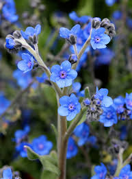 Forget me not, blue