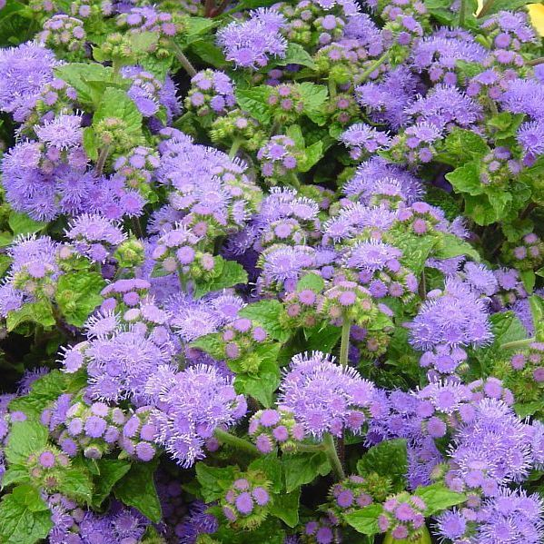 Ageratum, Blue Planet