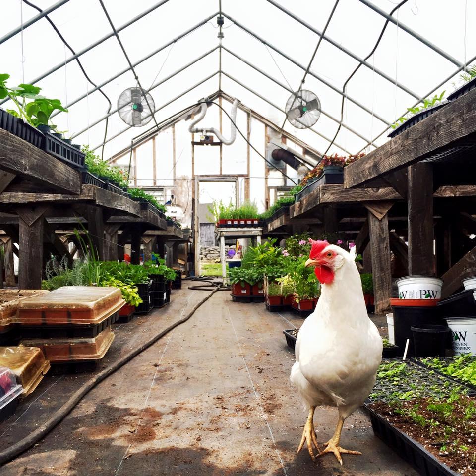 chickeningreenhouse.jpg
