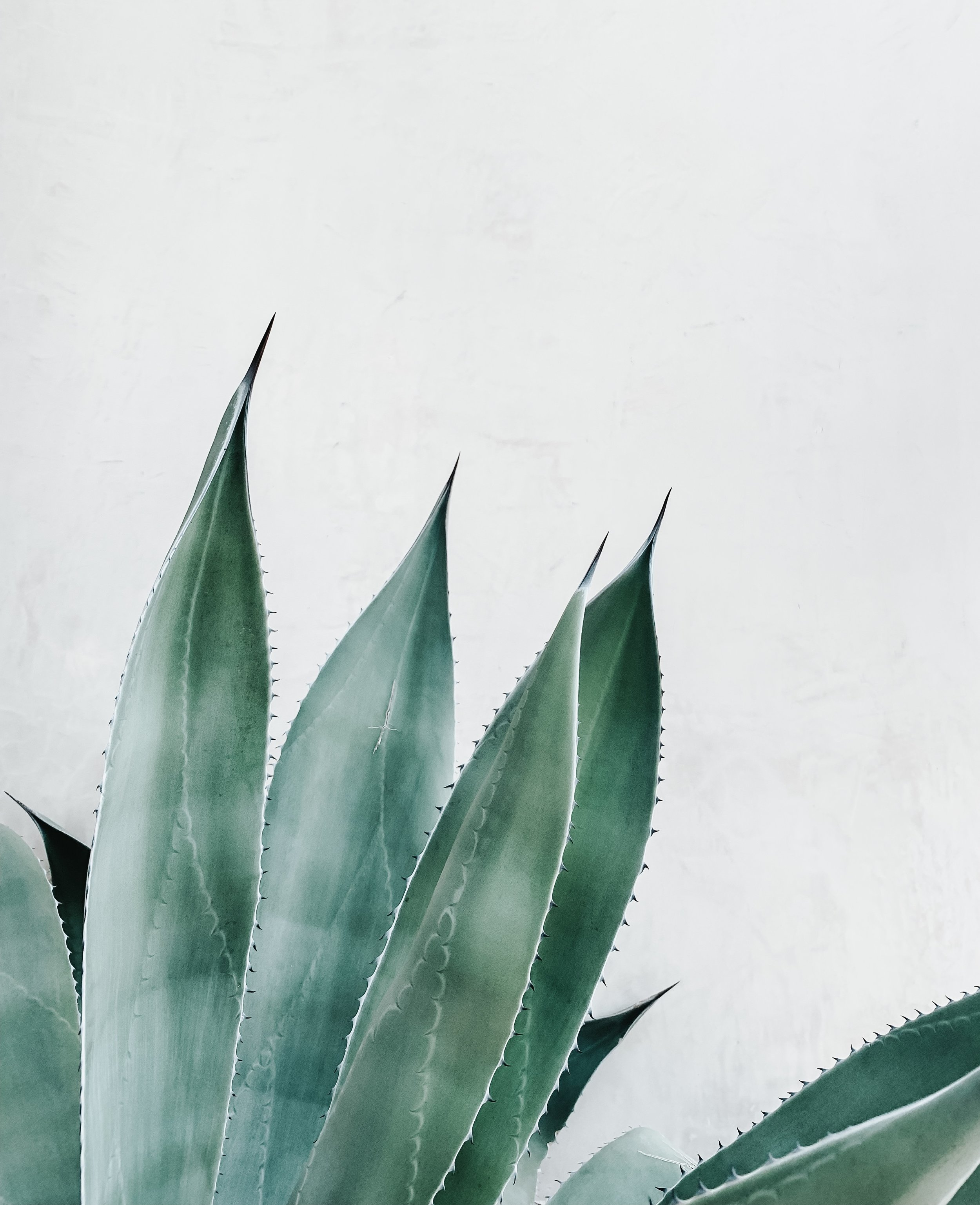 "Penca, literally means leaf or ""fleshy leaf of an agave or cactus."" ... The leaves of the agave that have to be sheared off before you get to the piña. -"