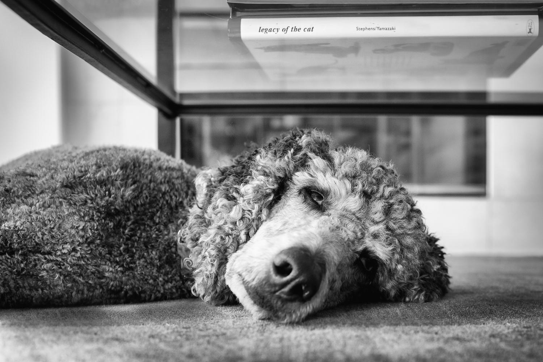 Seattle Pet Photography_Poodle