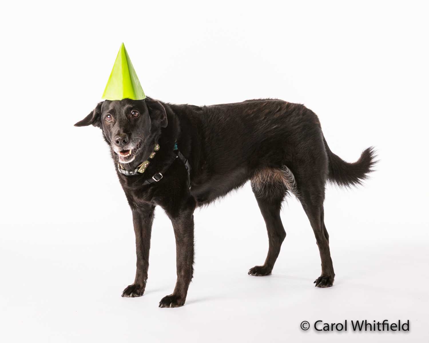 """Who says you can't teach old dogs new tricks??  This 13 year old beauty really doesn't like wearing """"clothes"""" but her mom taught her to HAPPILY wear a party hat!"""