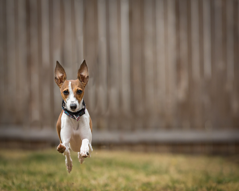 Seattle Pet Photography_Italian Greyhound
