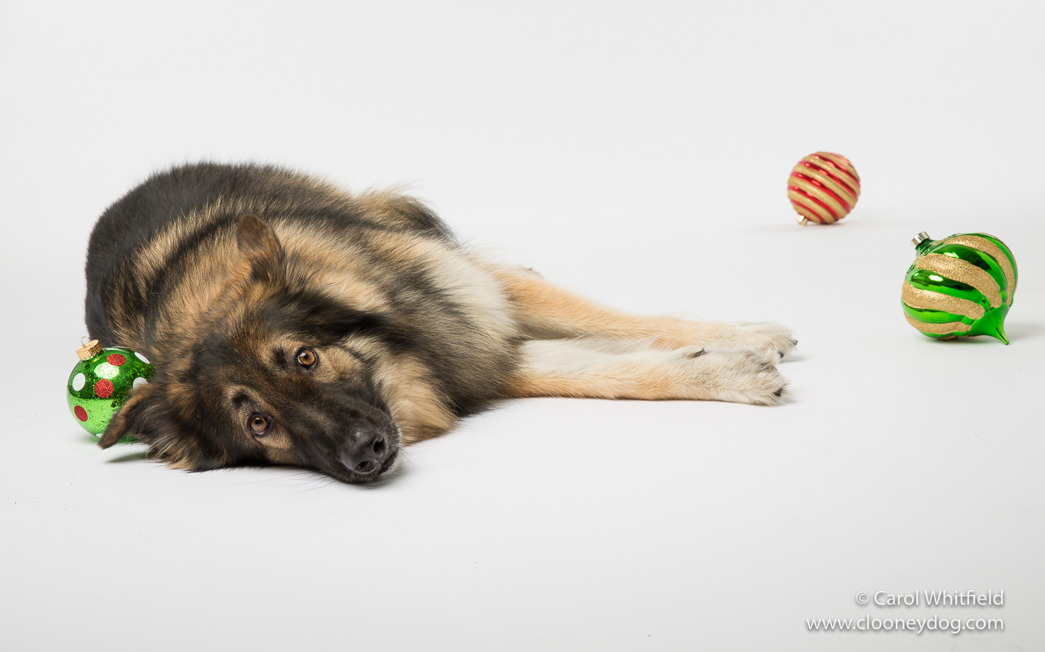 Dog Tired_Seattle Pet Photography