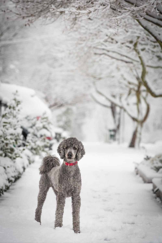 snow dog_Seattle Pet Photography