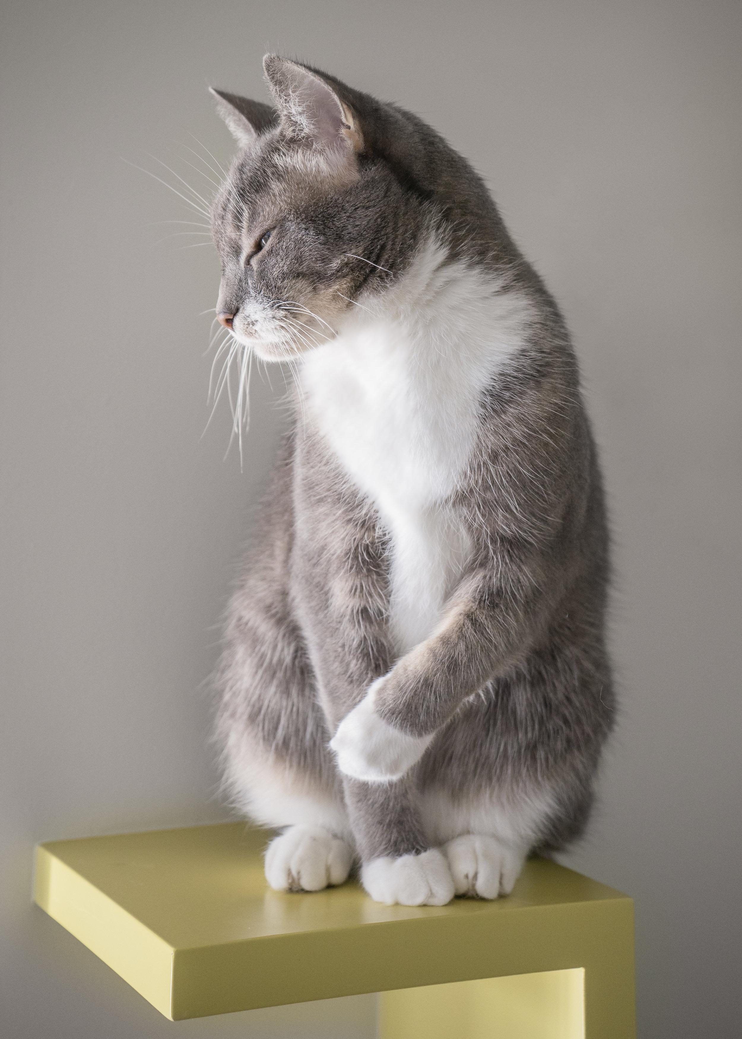 Tuxedo Cat_Seattle Pet Photography