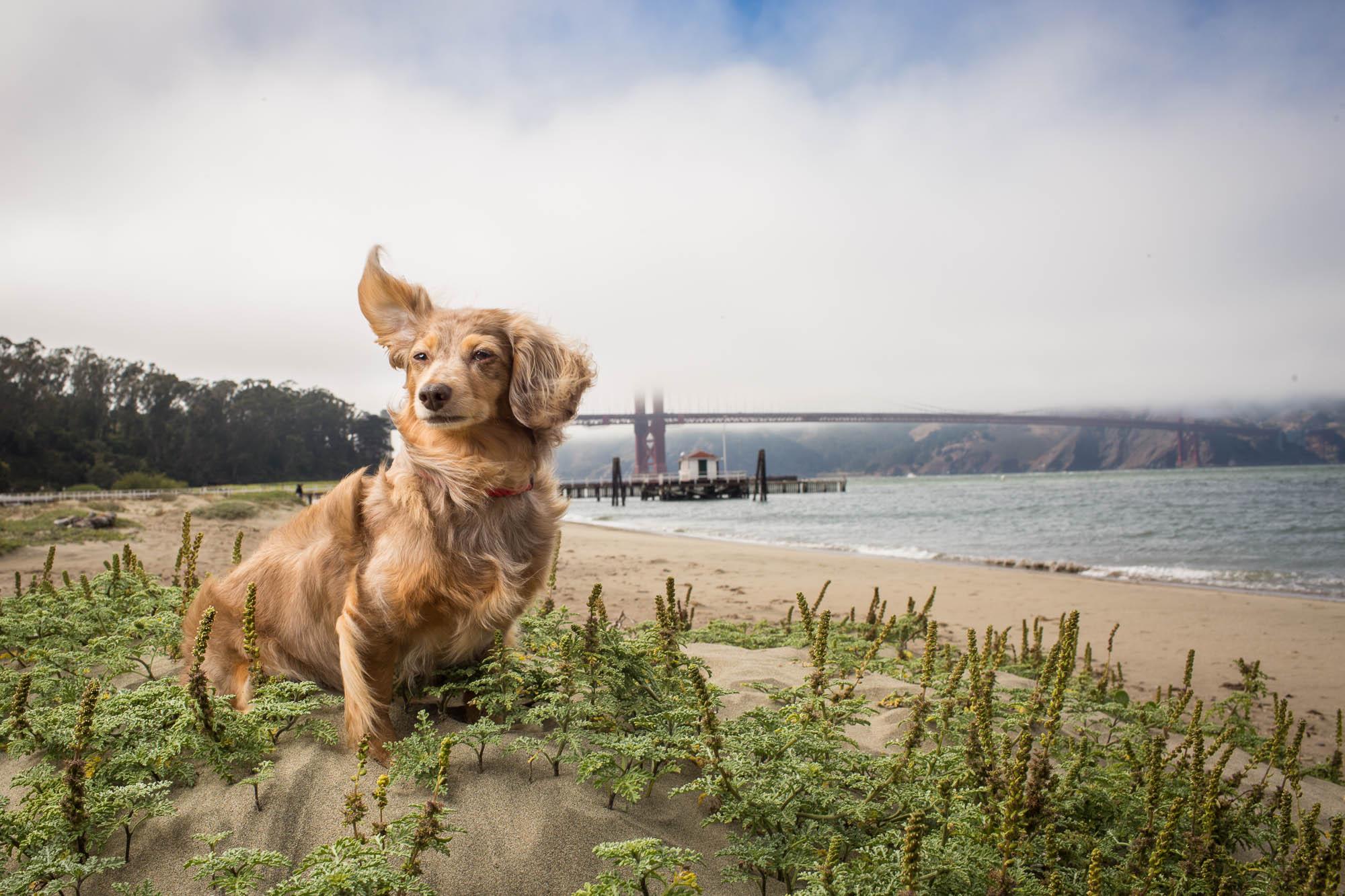 Seattle Pet Photography_dacshund