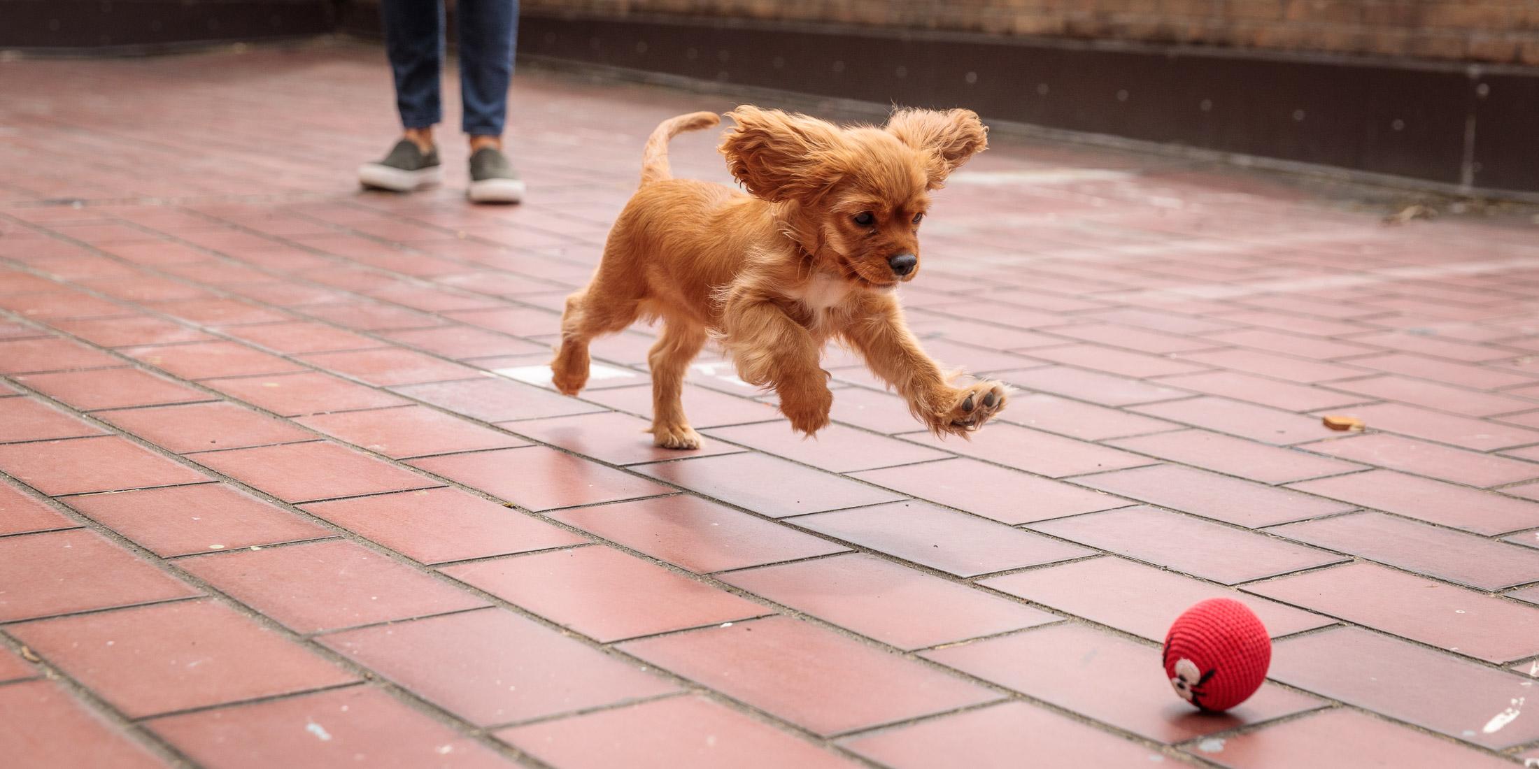 Seattle Pet Photography_Cavalier Spaniel