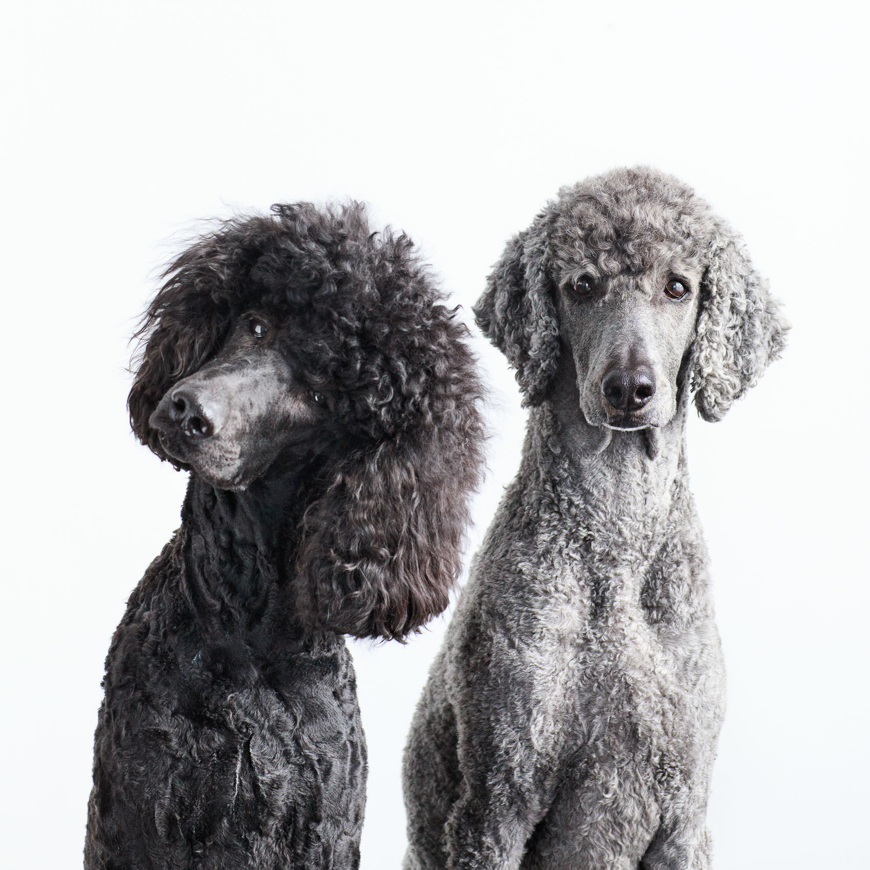 Seattle Pet Photography_Poodles