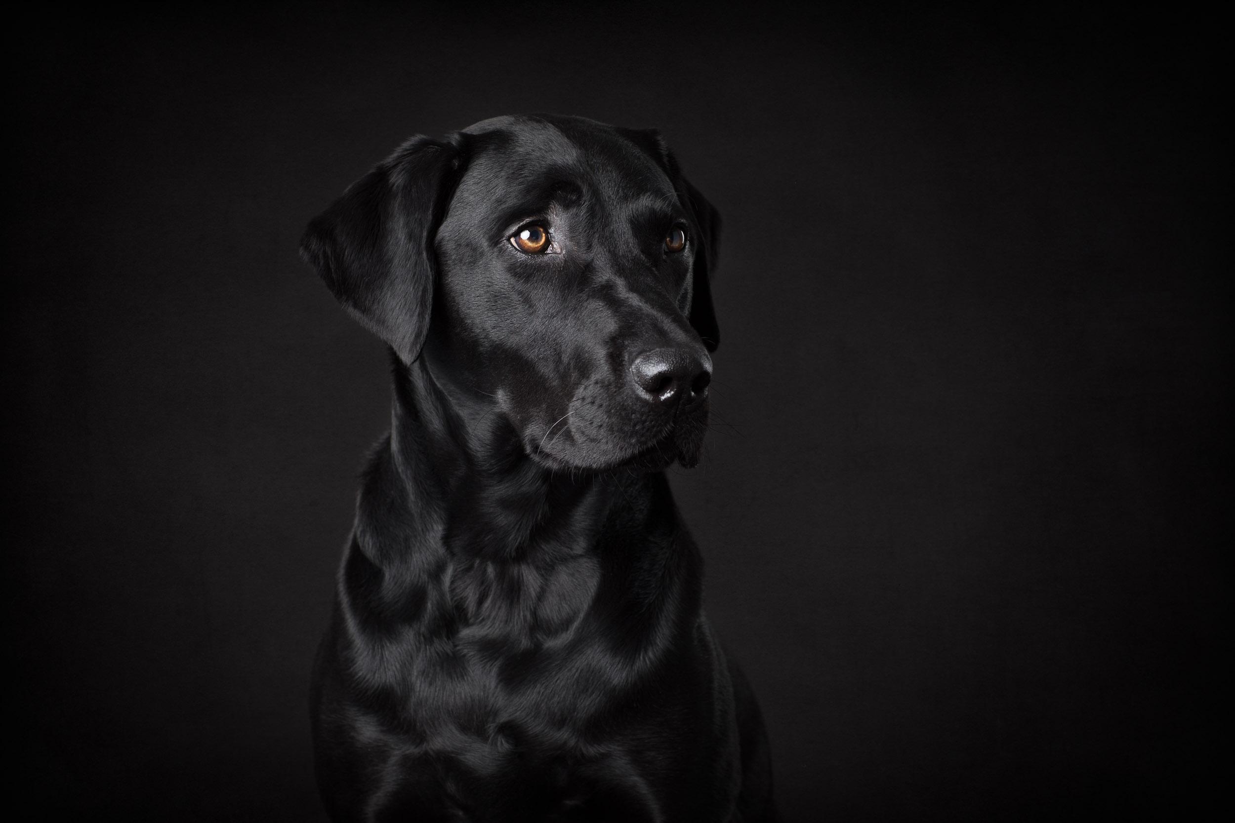 Seattle Pet Photography_labrador