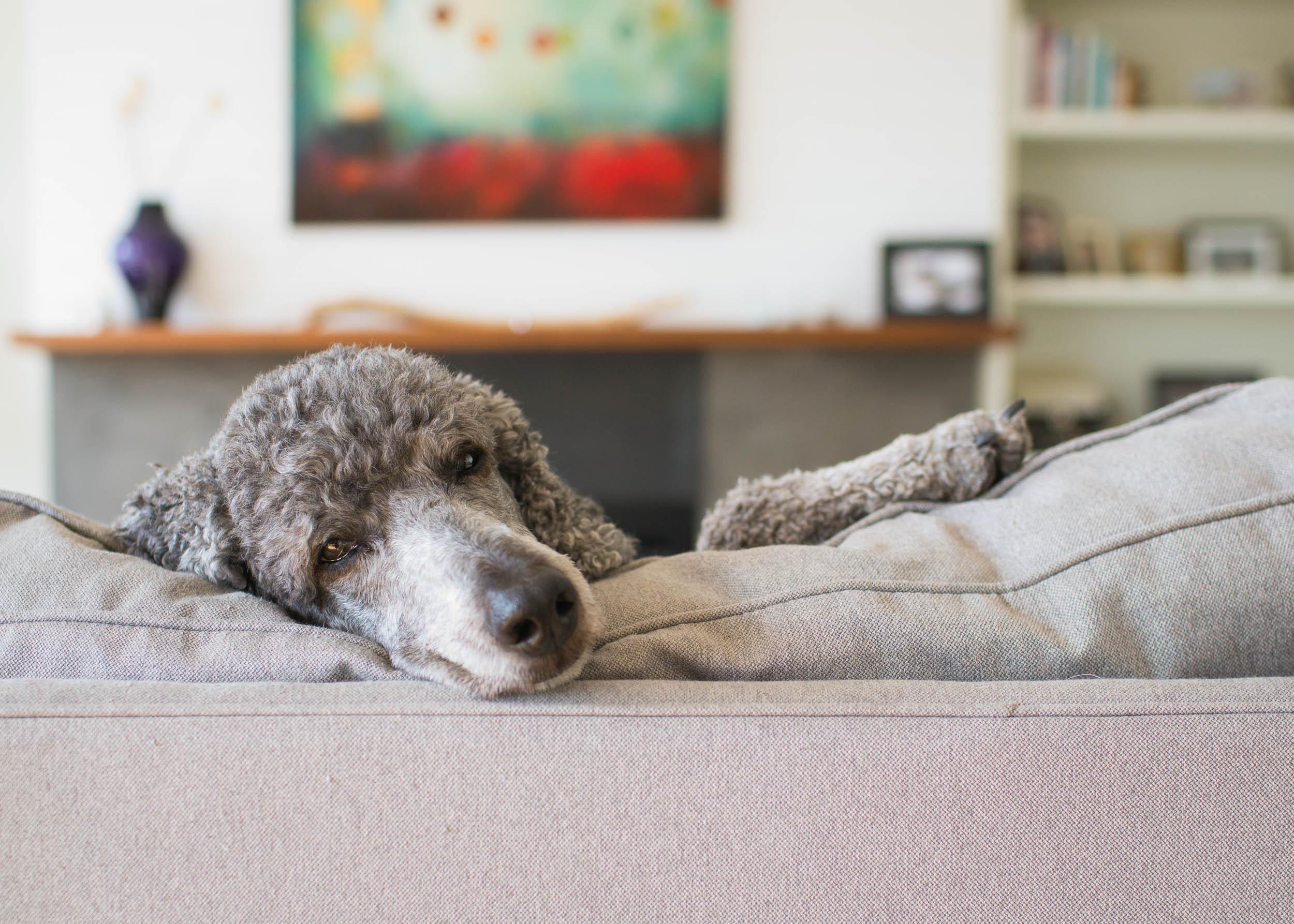 Pet Photography_Poodle