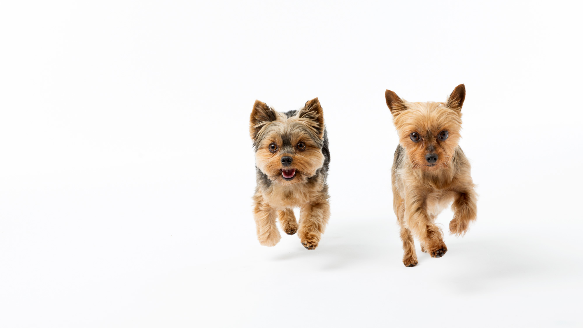 Seattle Pet Photography_yorkies