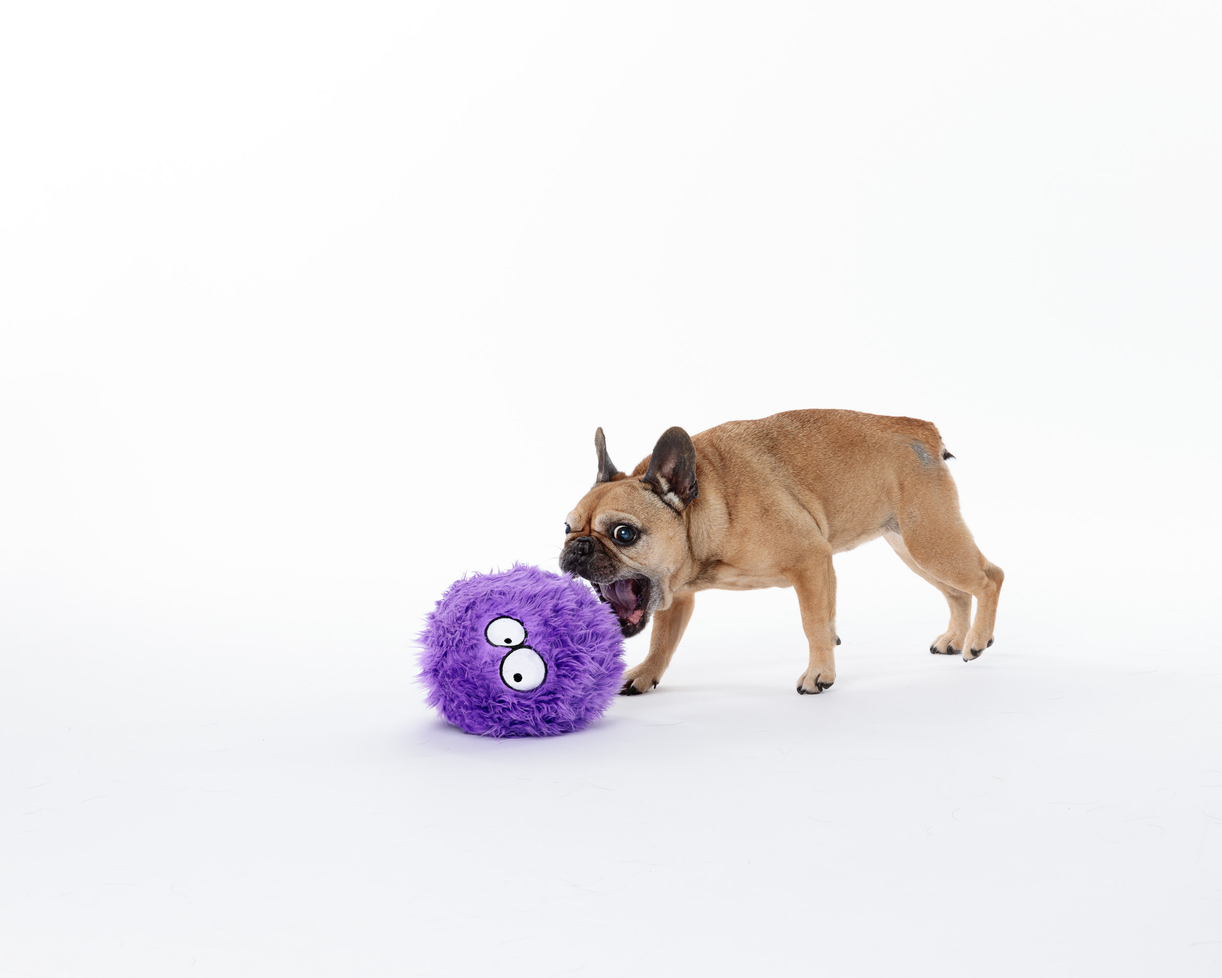 Pet Photography_frenchie