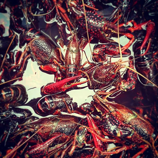 Crawfish - ready to be cooked.