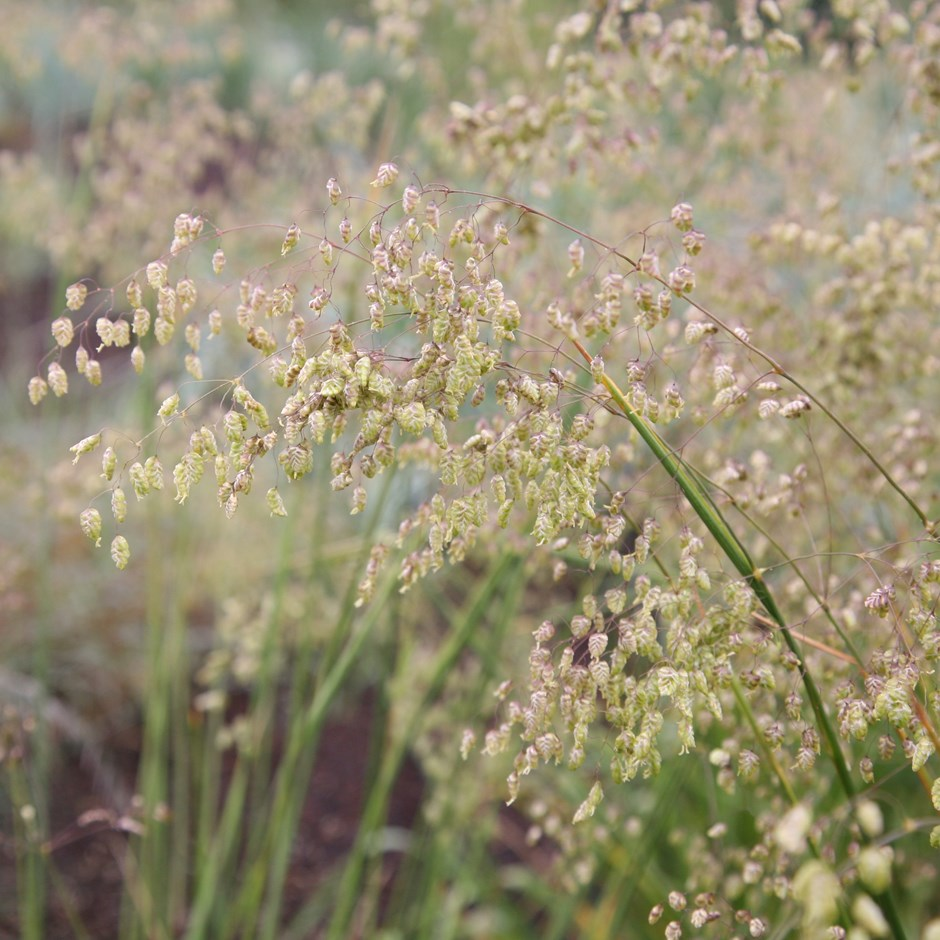 LESSER QUAKING GRASS. loves hot, dry, sunny borders, good in large swathes as ground cover, grows well on difficult dry banks or rock and gravel gardens spreads easily.  LOVES FULL SUN AND WELL DRAINED SOIL. FAST GROWING FLOWERING BETWEEN MAY AND AUGUST AND FULLY HARDY