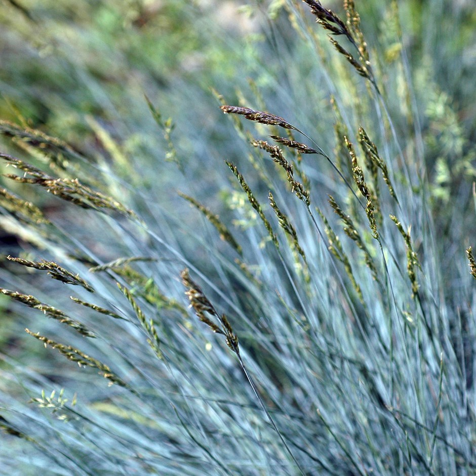 blue fescue GRASS . -versatile grass.plant as a dwarf edging in a Mediterranean garden, dot through a gravelled area. excellent for contemporary gardens.  full sun in well-drained soil  flowers June to July and is fully hardy