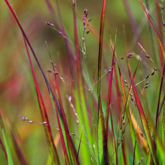 SWITCH GRASS .full sun moderately fertile, well-drained soil. SLOW GROWING. FLOWERS August and September. fully hardy  HAS green, strap-like leaves that turn red at the tips in June. In autumn, the foliage turns a spectacular deep burgundy. It likes full sun, and DOES NOT MIND DRY SUMMERS.