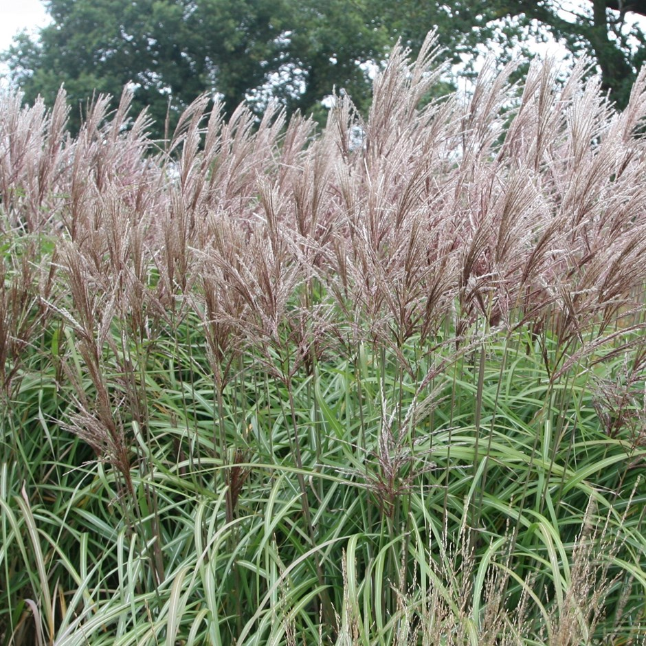 chinese silver grass .full sun fertile, moist, well drained or sandy flowers August to September and fully hardy.  fine, arching leaves with a distinctive white stripe down the centre. flowers are spectacular; reddish brown, silky feathers that rise upwards from their stems turning beautiful reddish-brown in autumn. Use it as a feature plant.