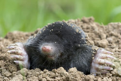 Mole in Earth Verdant Lawn Care.jpg