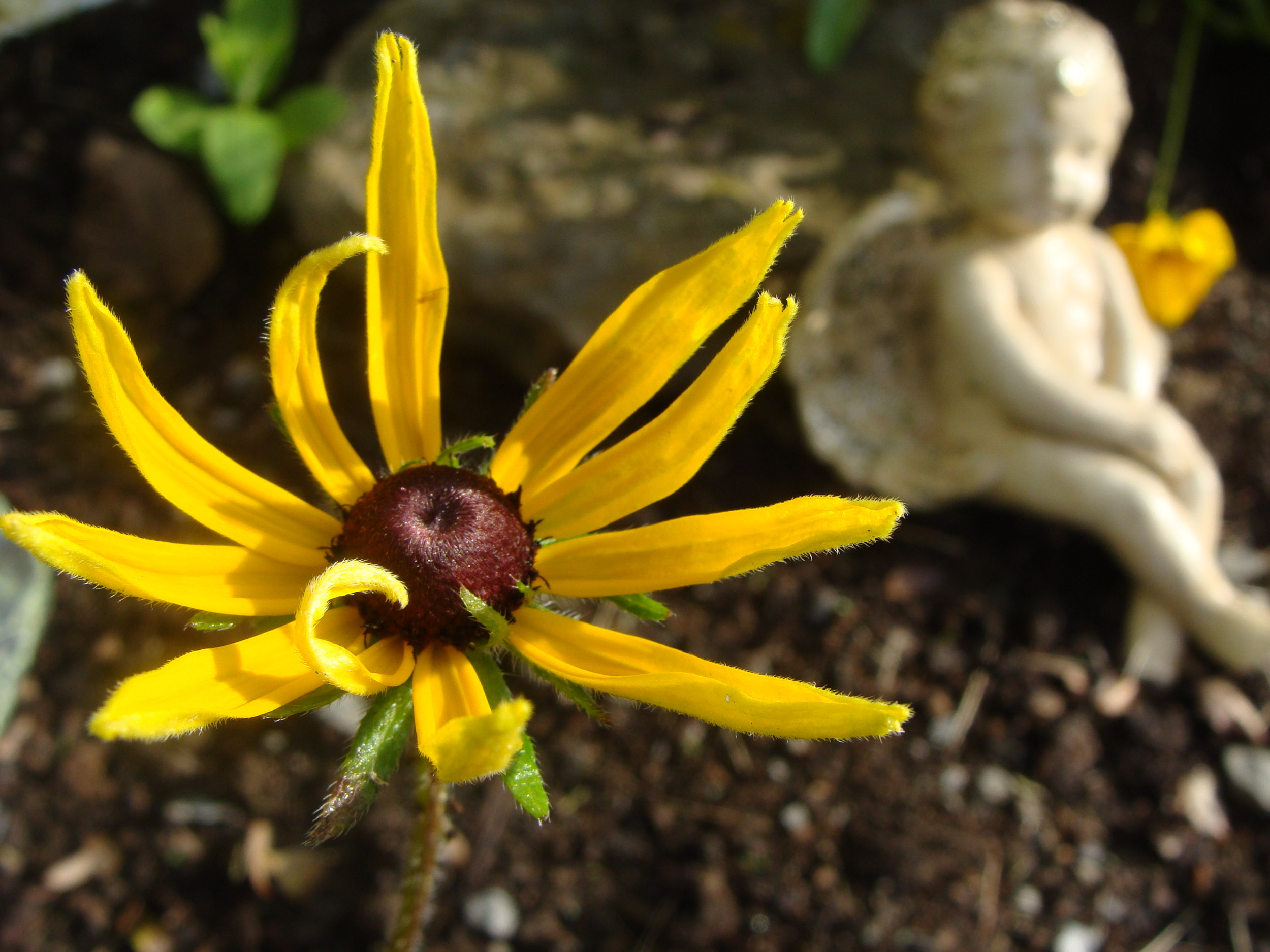 angel-rudbeckia