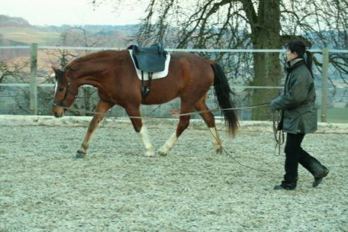 Jenny Neuhauser mit 4j. Freiberger beim Longieren am Kappzaum