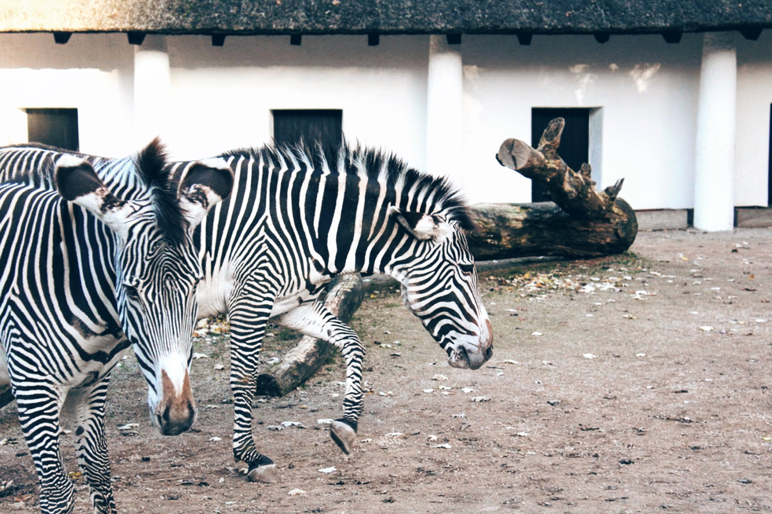 Zebras at the Berlin Zoo