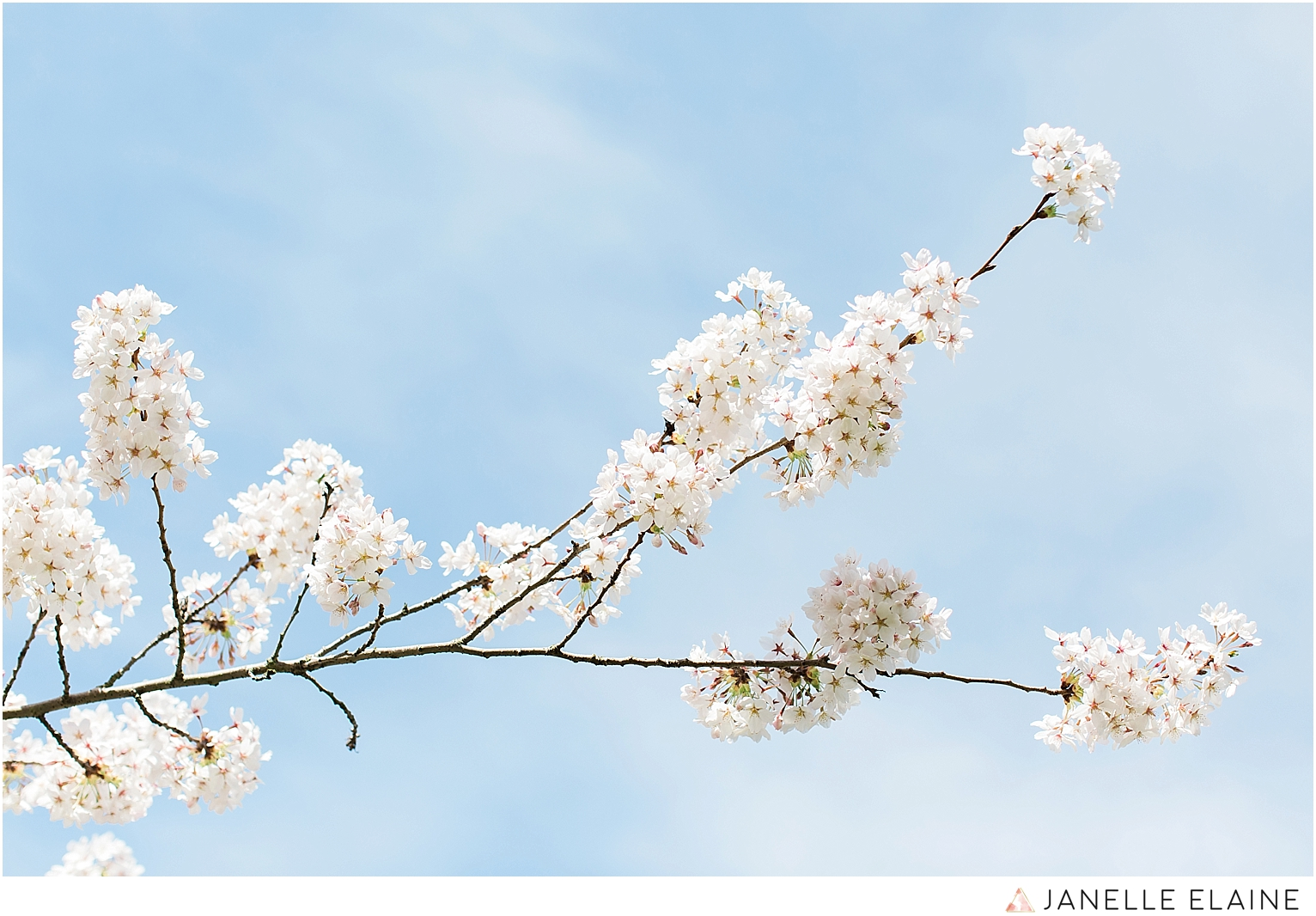 sping-blossoms-seattle photographer janelle elaine-3.jpg