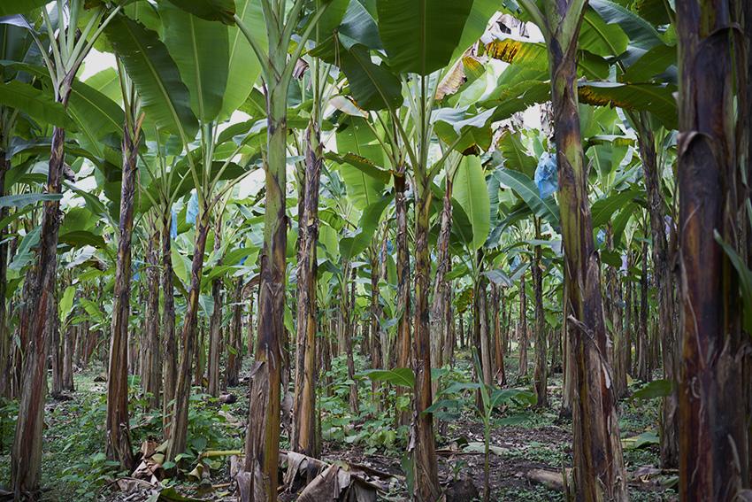Plantain-TreesW.jpg