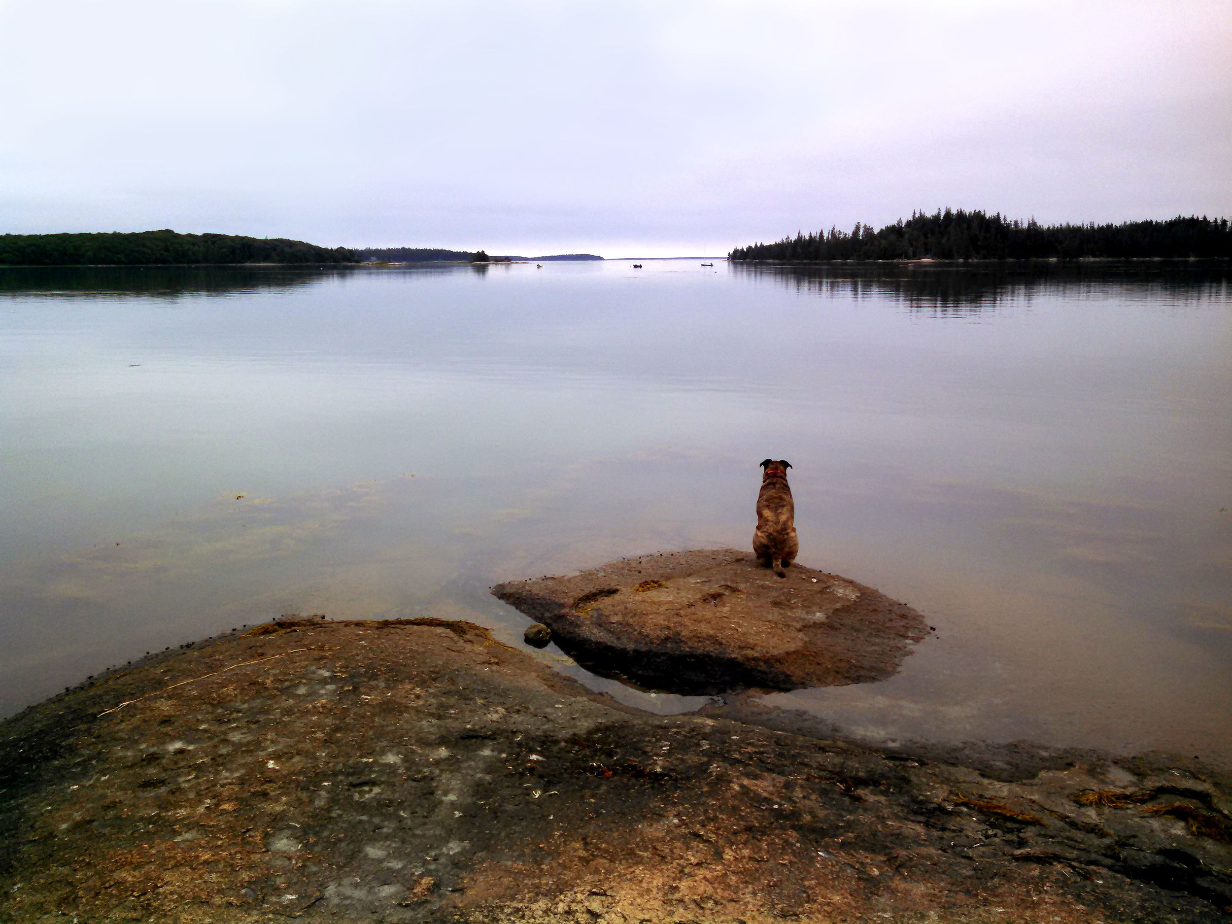 """Water #17  """"Claude Contemplating""""  If only we could know what he is thinking. Greenlaw Cove, Deer Isle, Maine."""