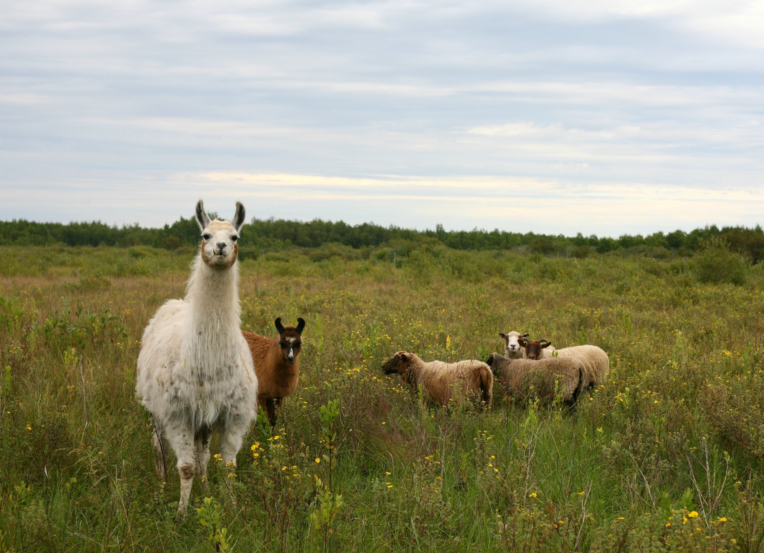 The llamas and the sheep getting to know each other, and checking out their new home.