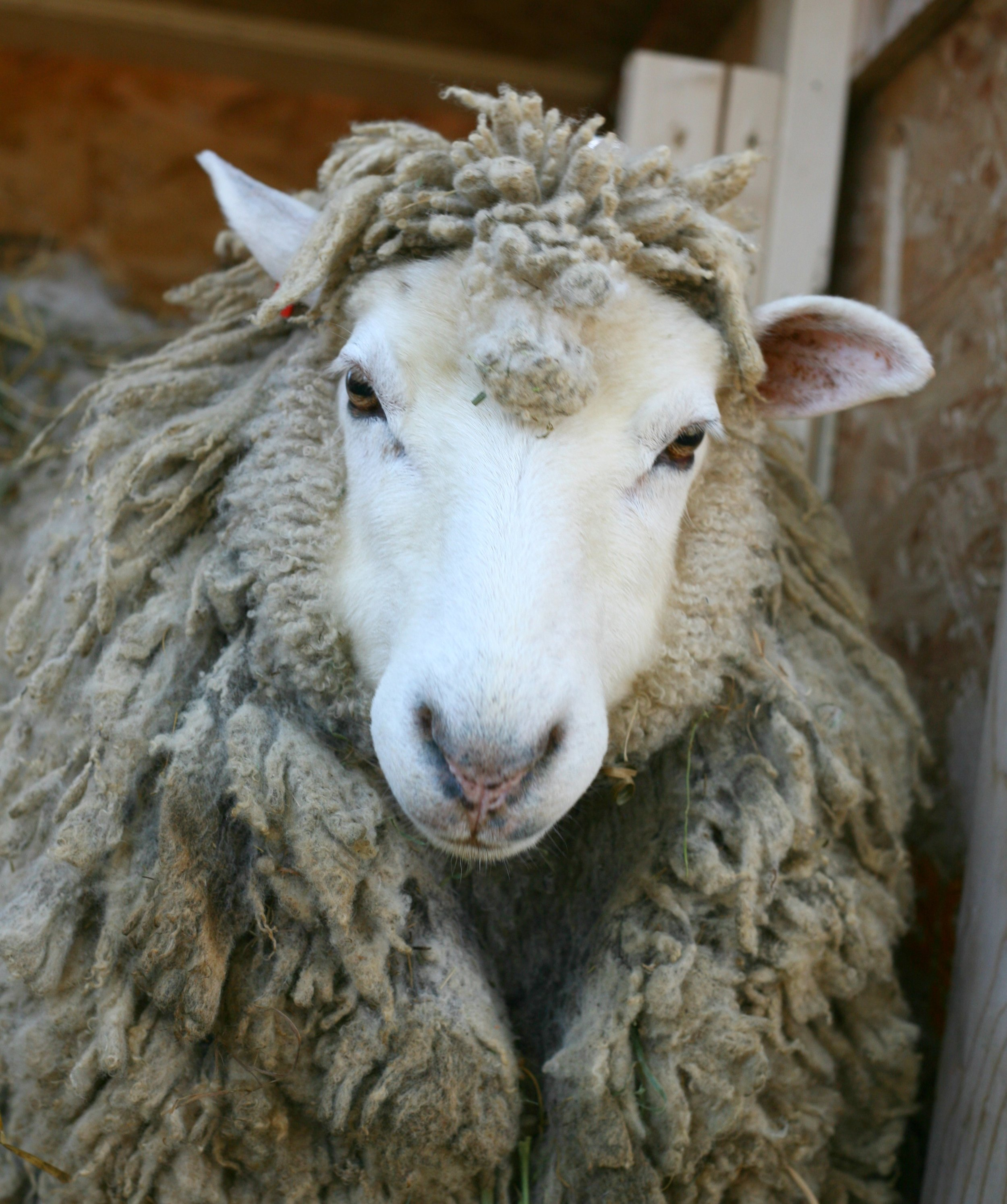 She is 4 years old merino/Cotswold cross. She is the silent strong type. She is gentle, yet let's me know that she likes her space!  She has a beautiful fine fleece.