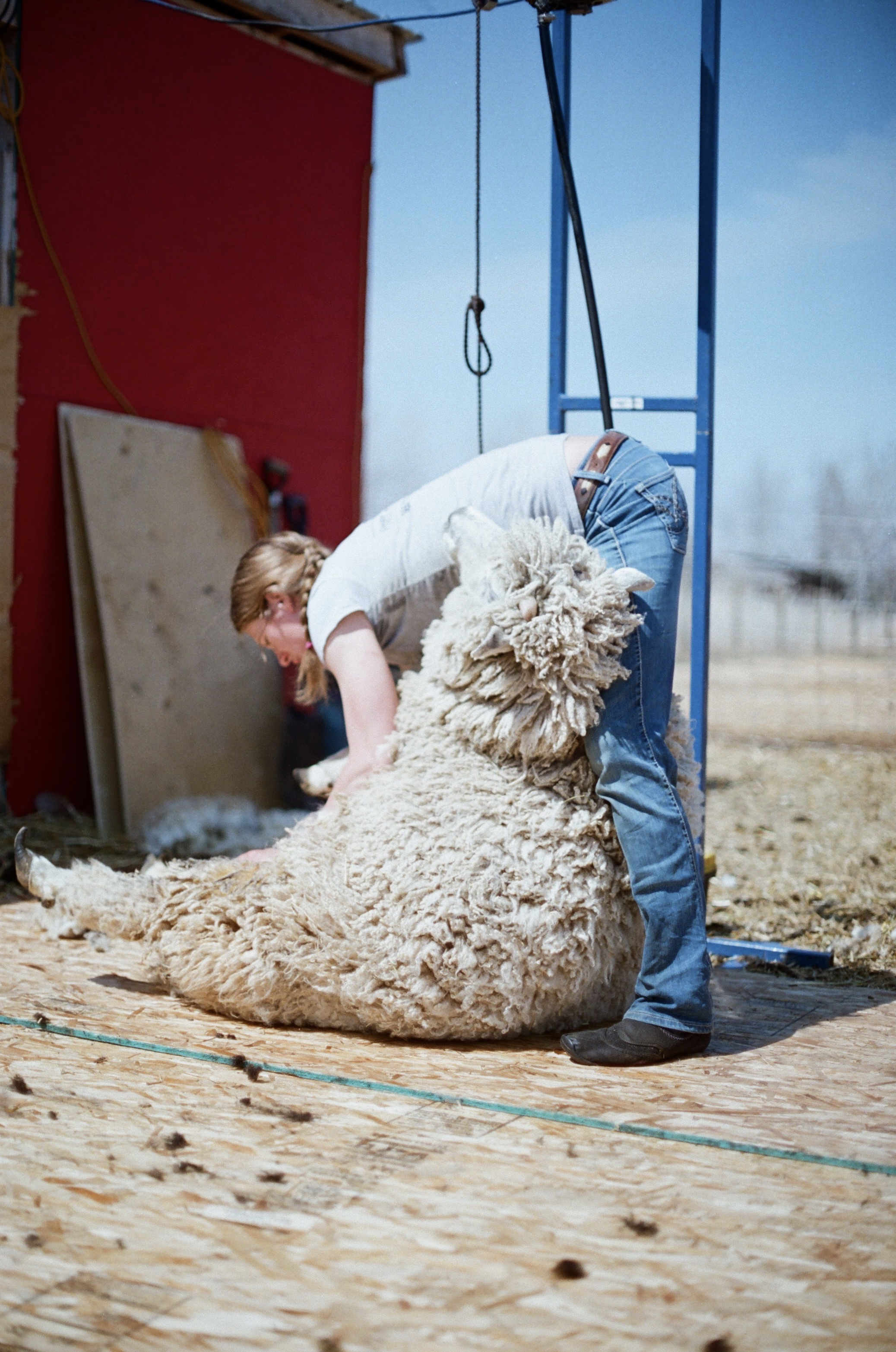 Stacey shearing Rex                                                                 (Photo by Mackenzie Smith)