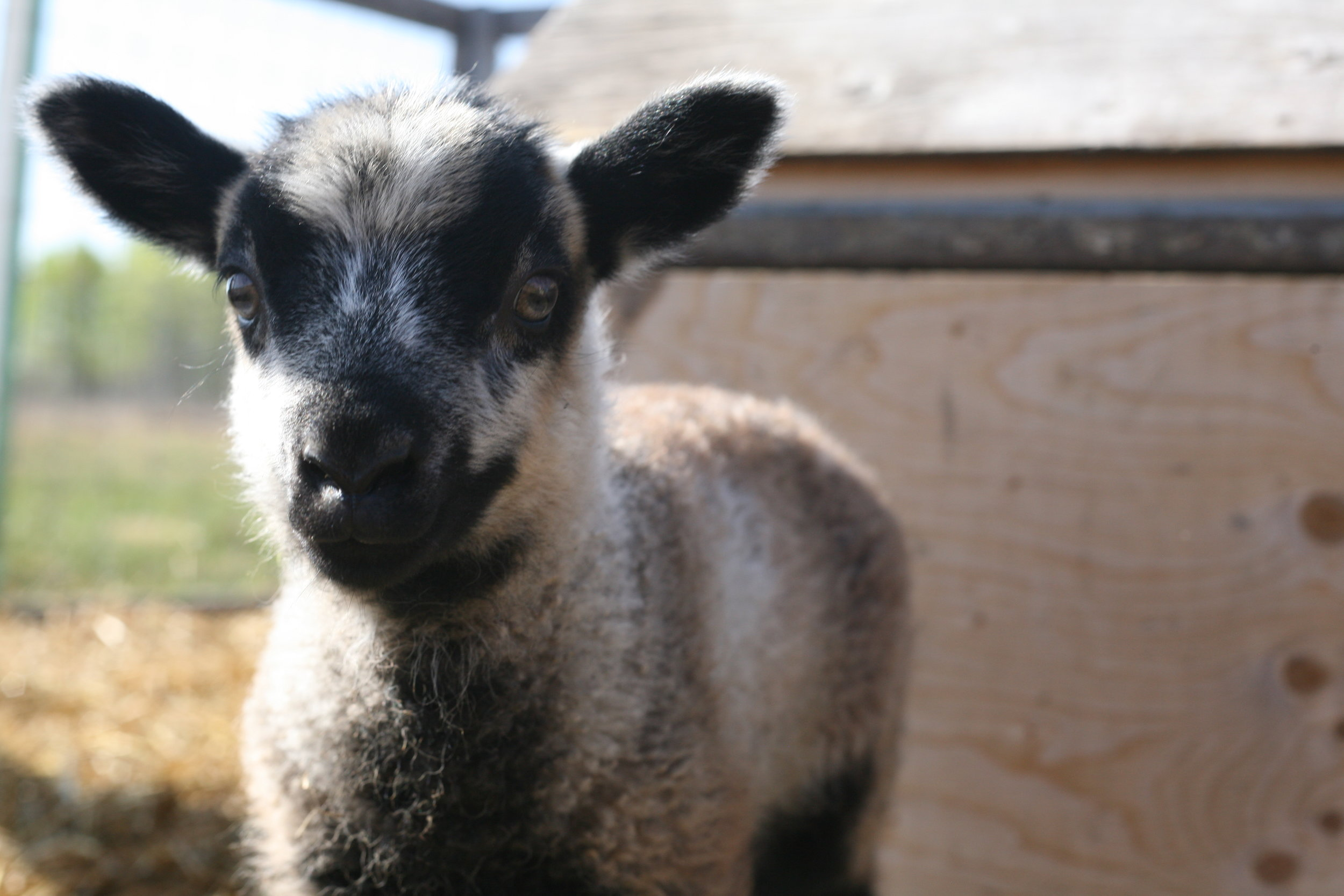This ewe lamb was born on May 10, 2018 weighing 2.5kg. Her mother is Ashoka and the sire is Muddy, both are purebred shetland sheep. She has a twin brother. She is a very socialized girl, she loves chin scratches and playing with all the other lambs. Her colouring is beautiful as you can see in the pictures. It will be so interesting to watch as the year goes on how her fleece changes.