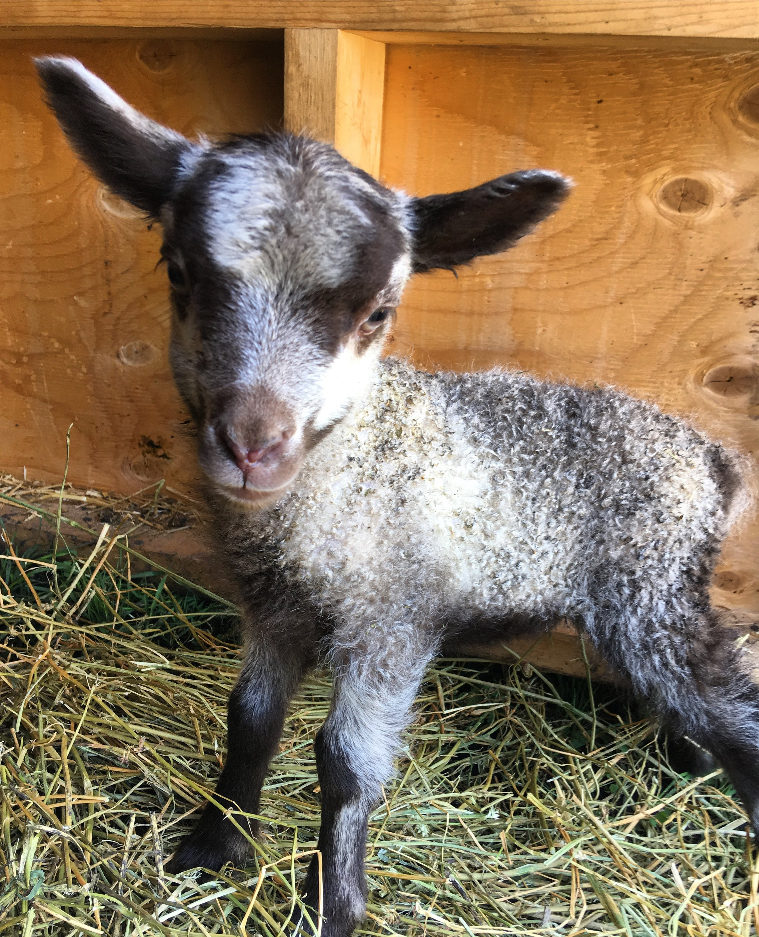 This ewe lamb was born on May 24, 2018 weighing 2.15kg. Her mother is Bryn and the sire is Muddy, both are purebred shetland sheep. She has a twin sister, with a darker black/grey face. She was much smaller than her sister when she was born, but she makes up for it in attitude. You can always tell when she is looking for her mama - she might be the loudest lamb we have!