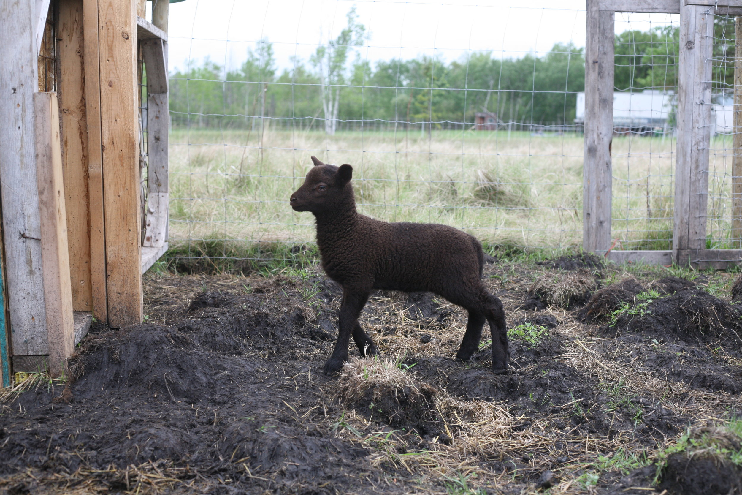 This ewe lamb was born on May 19, 2018 in the middle of a huge rain storm in the middle of the night she weighed 2.5kg. Her mother is Cairo and the sire is Muddy, both are purebred shetland sheep. She has a twin sister. She is very dark with a few white hairs on the top of her head. She loves to play with the other lambs, but isn't very adventurous on her own yet. Her fleece is a beautiful dark brown.