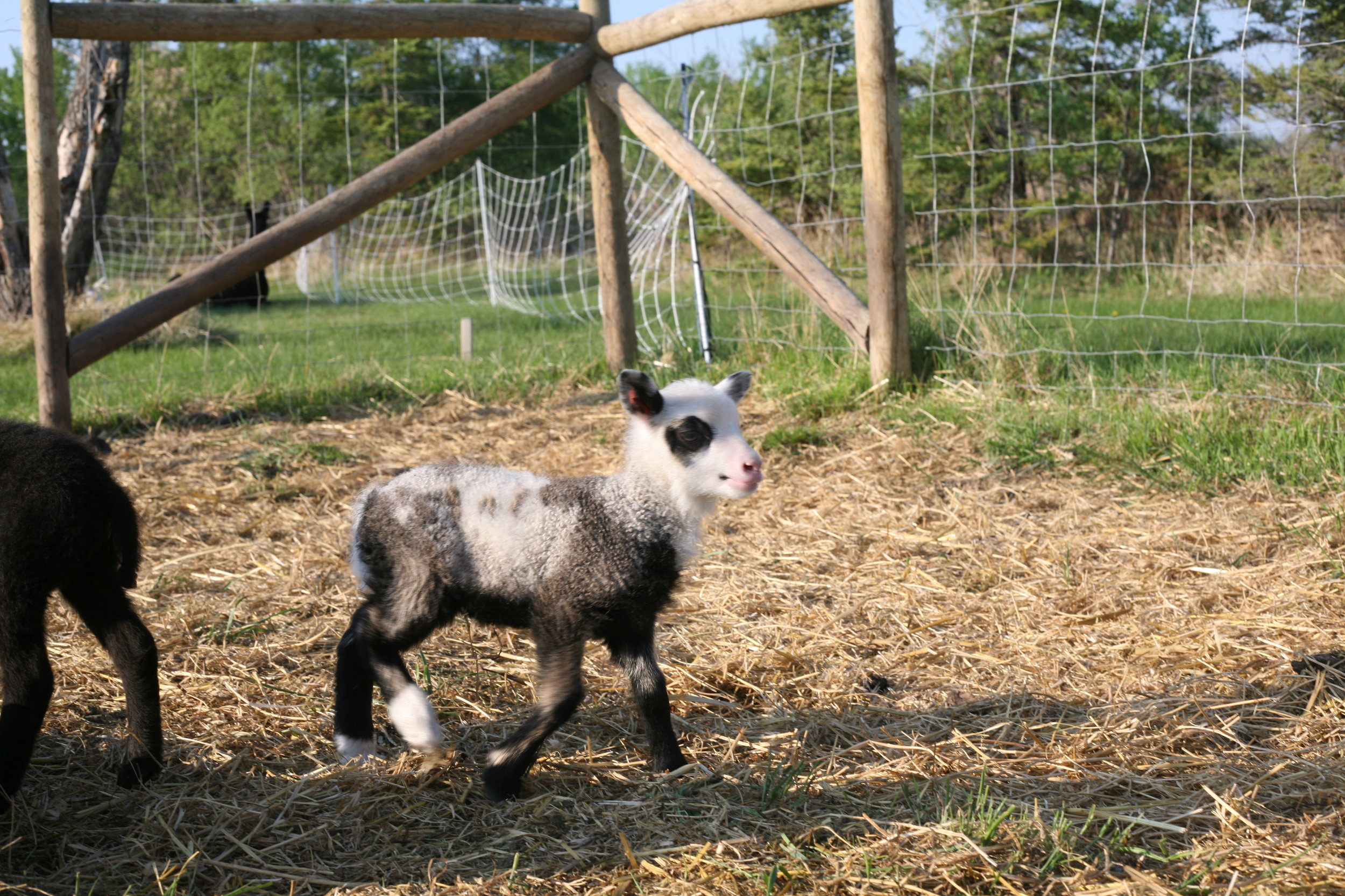 This ewe lamb was born on May 23, 2018 weighing 2.25kg. Her mother is Nora and the sire is Muddy, both are purebred shetland sheep. She has a twin sister. She is still so tiny, but has started playing with all the other sheep. She is very mindful of where her mom is, and will stick close by most of the time. Her colouring is lovely, and was a shock, as this mom usually only has dark brown lambs!