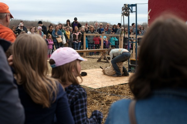 We had over 200 people attend Shearing Festival. Many had never seen a sheep be shorn before!