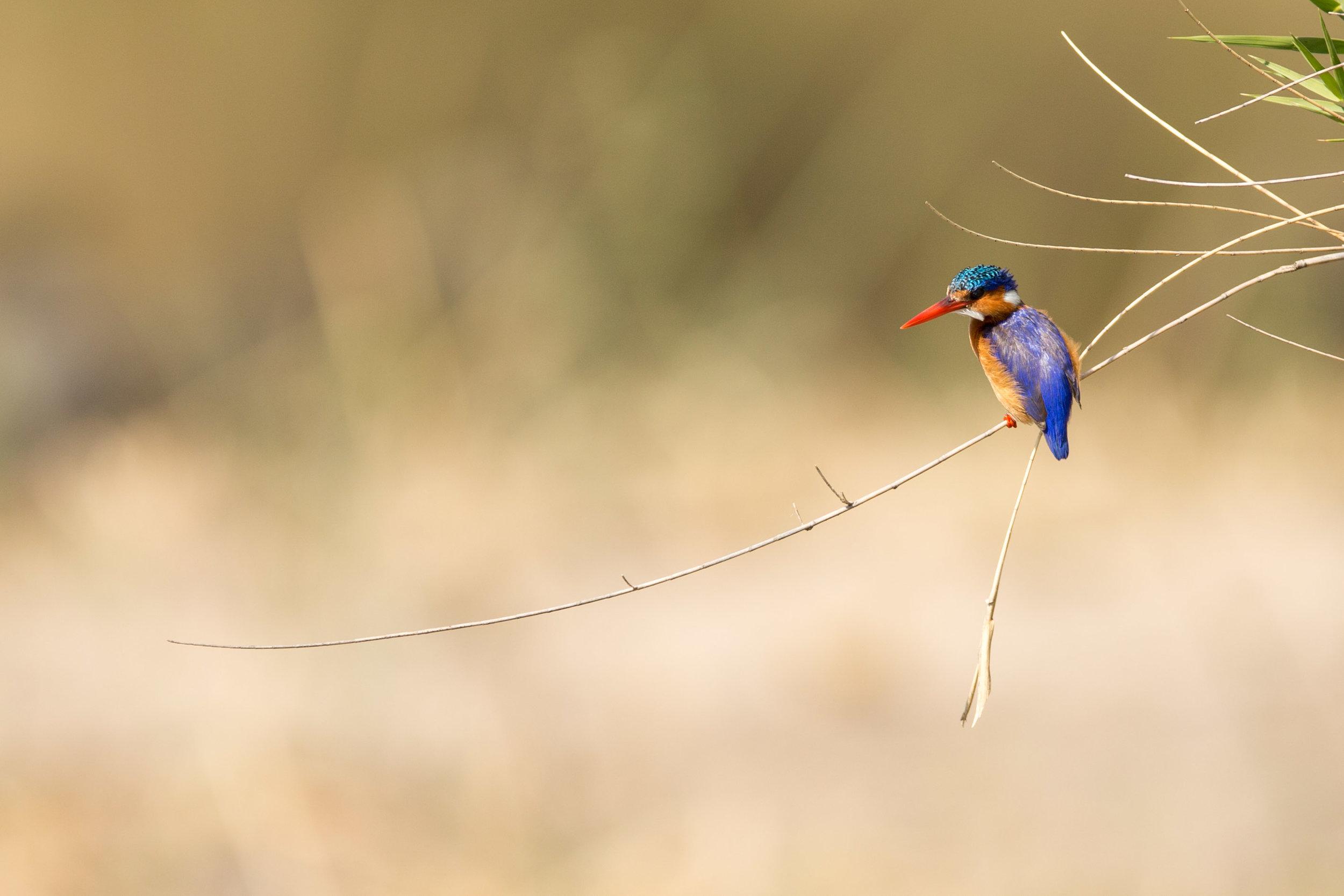 Martin-pêcheur huppé (AFRIQUE DU SUD)