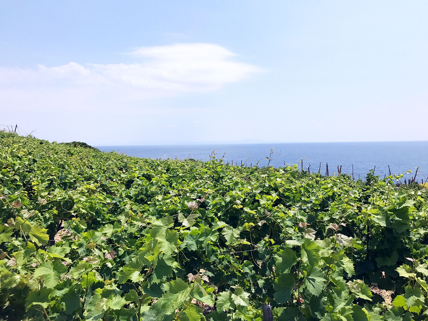 Vineyard overlooking the Adriatic Sea