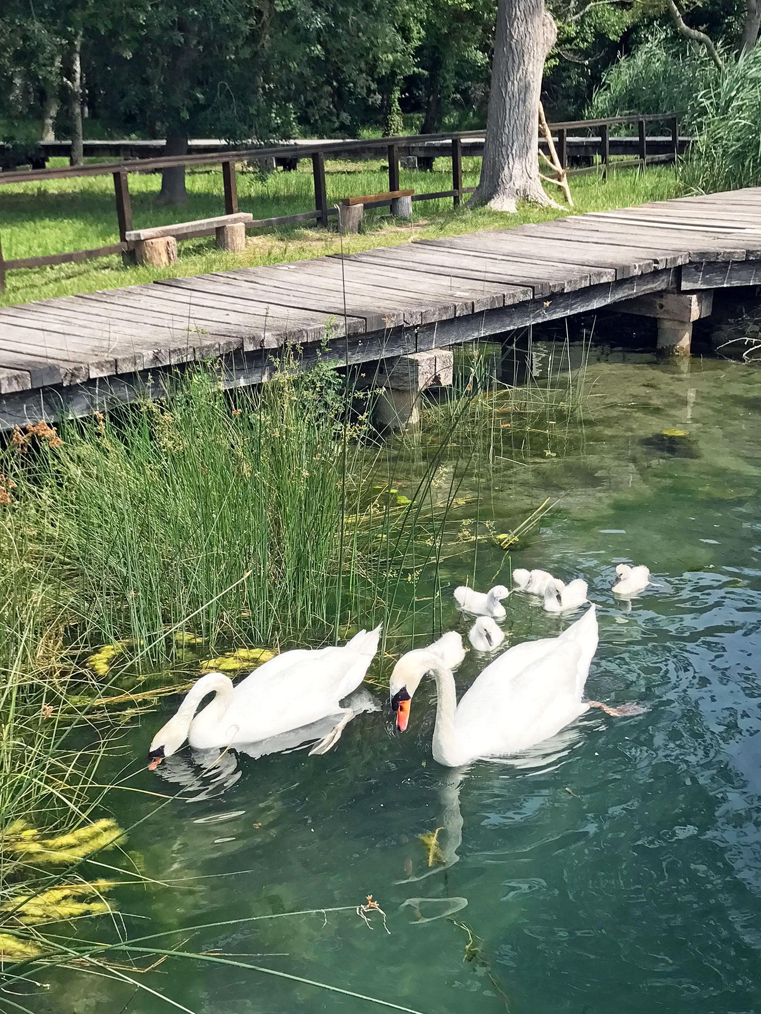 swans at Krka National Park Croatia