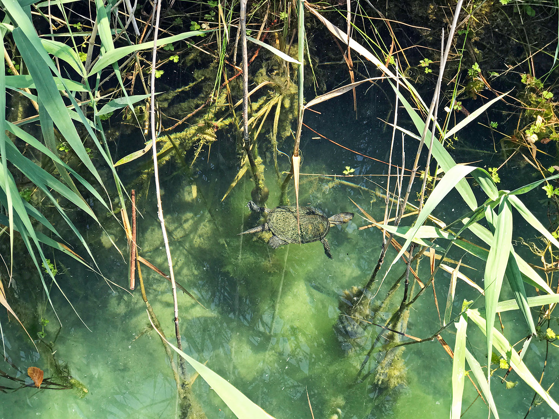 turtle at Krka National Park Croatia