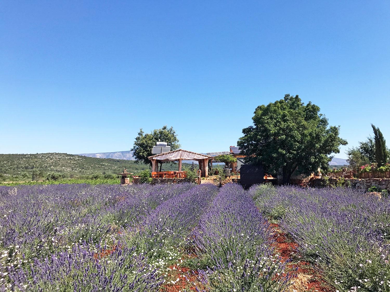 Hvar-Croatia-Stari-Grad-Plain-lavender.jpg