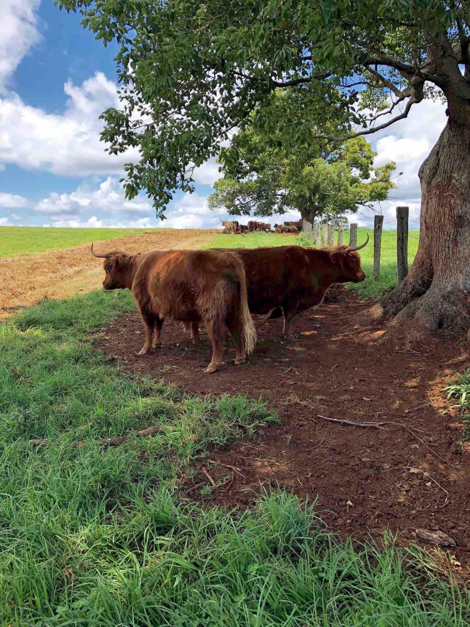 Cattle on the Farm.jpg