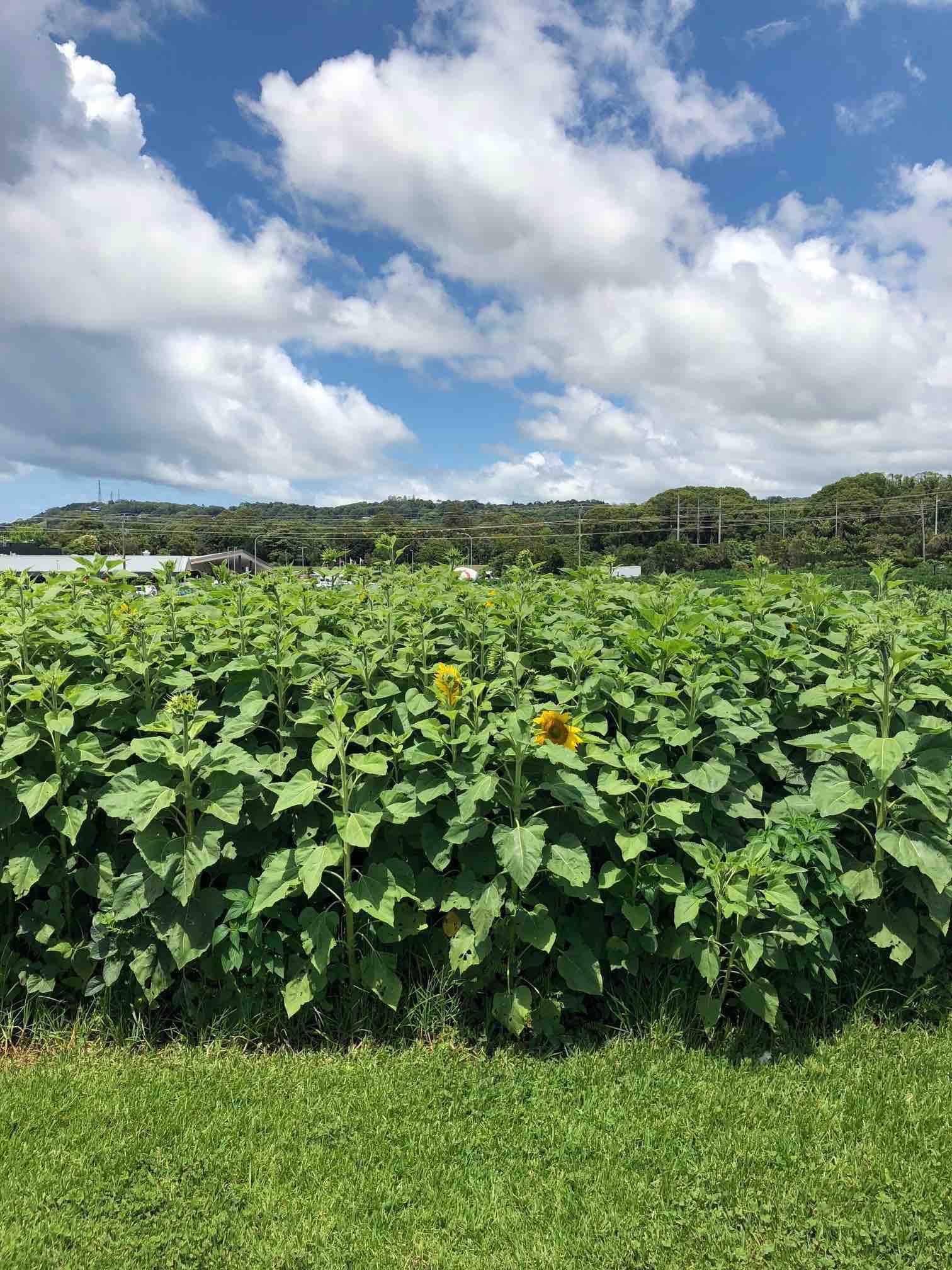 Sunflowers at the Farm.jpg