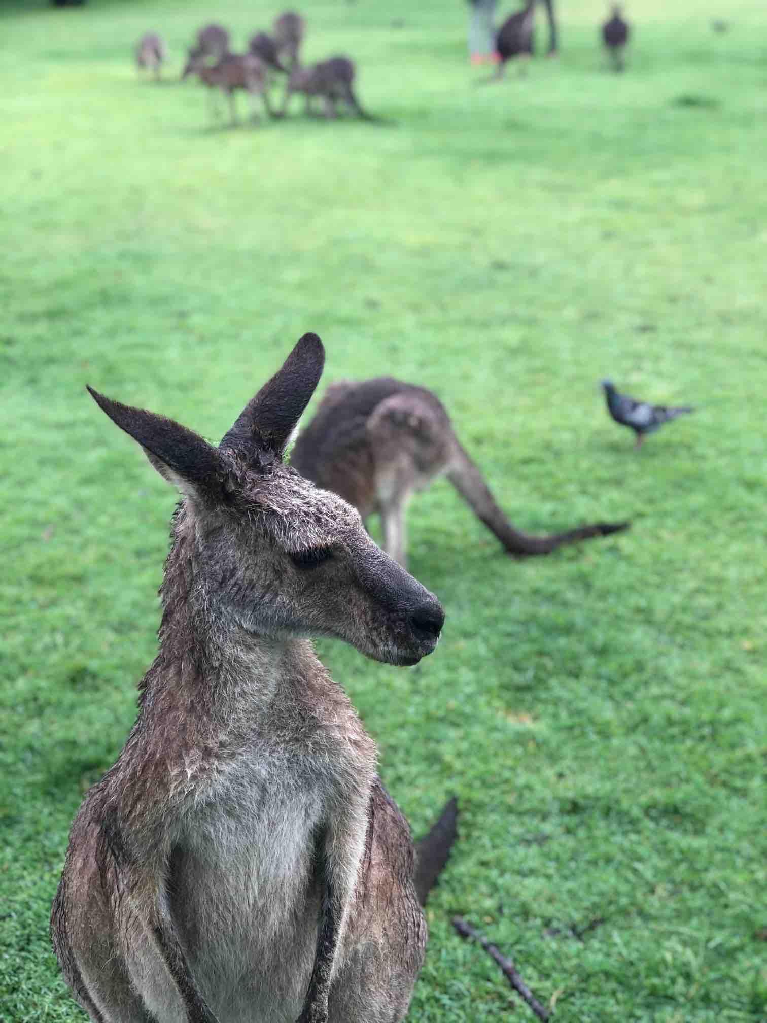 Kangaroo in Australia .jpg